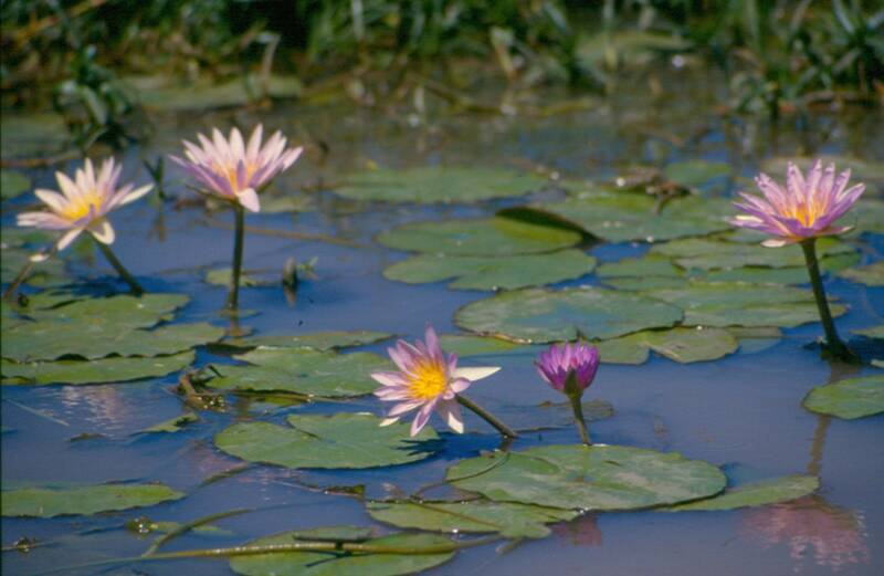 Borena-Sayint National Park LOTUS  FLOWER