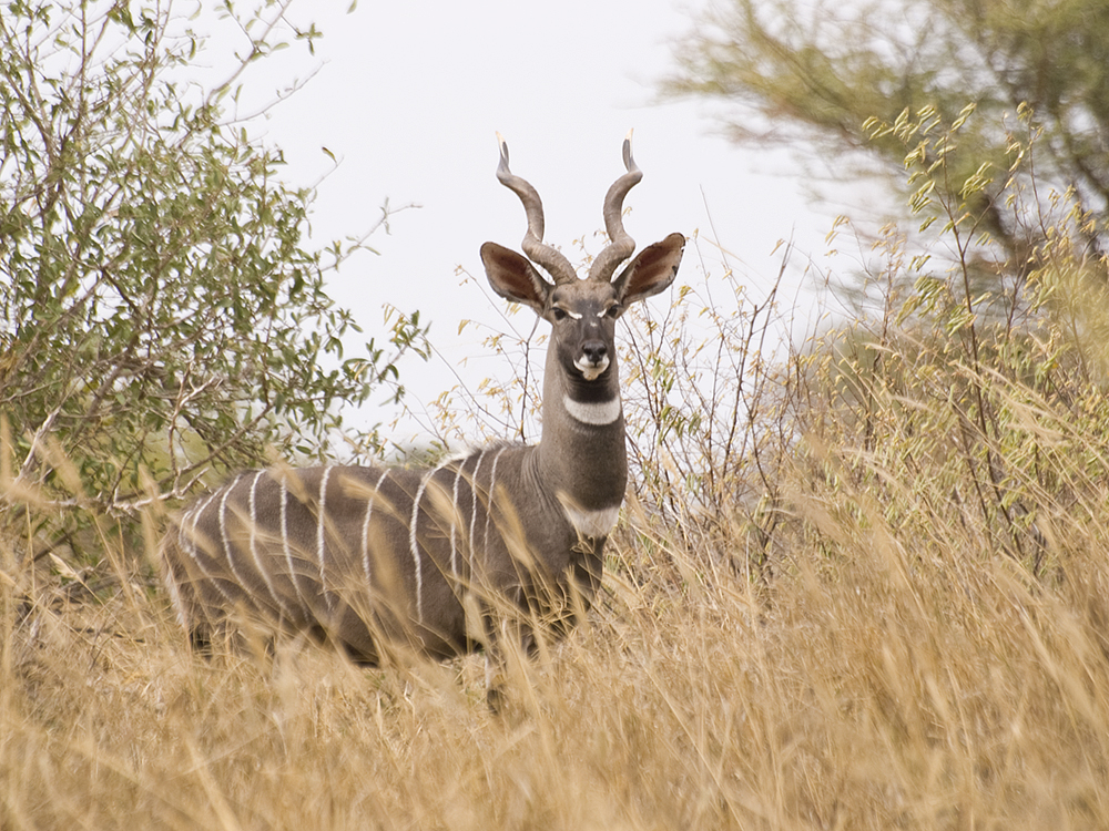 Male Lesser Kudu (Tragelaphus imberbis) in Tsavo West National Park