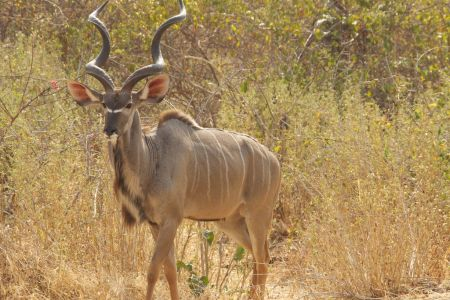 Maze National Park Ethiopia Greater Kudu