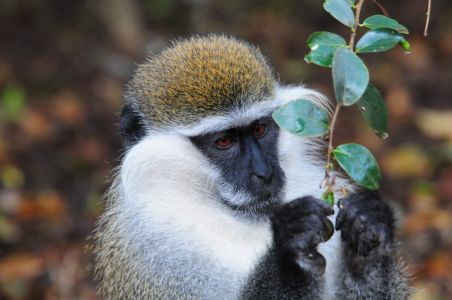 Maze National Park Vervet Monkey