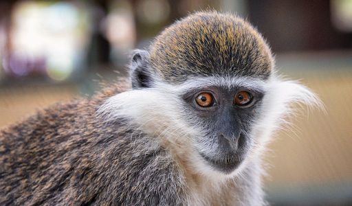Maze National Park Vervet Monkeys