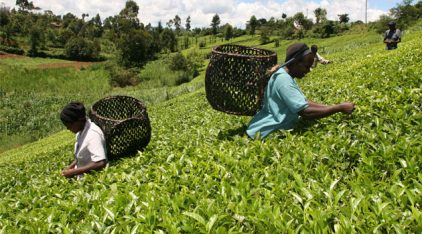 Tea-Farming-in-Kenya