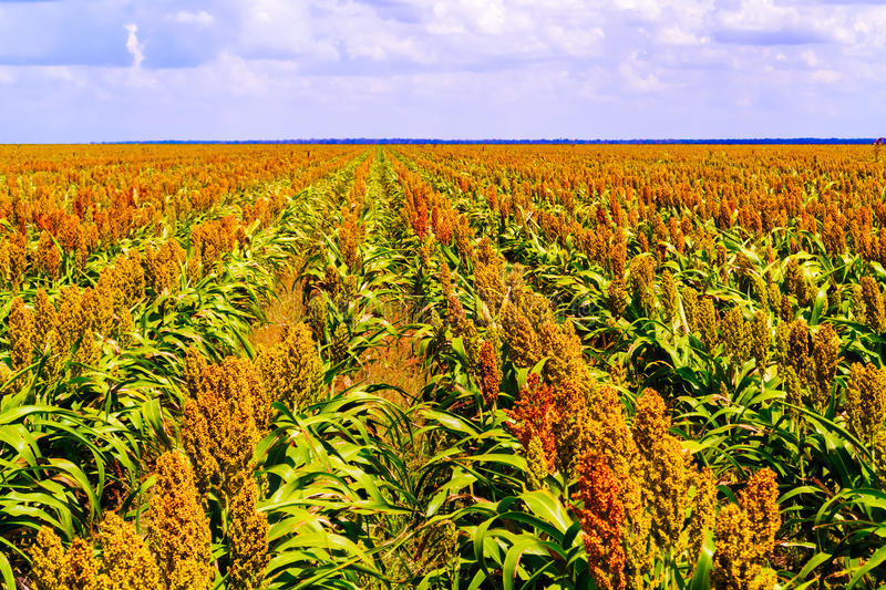 sorghum-plants-fields-botswana-common-name-maize-like-grasses-native-to-africa-asia-where-have-been-cultivated-56701256