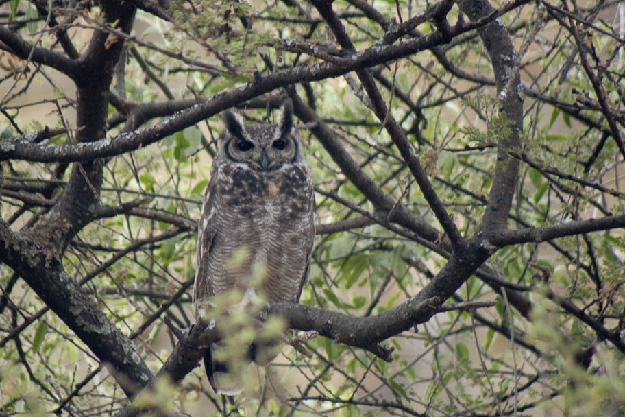 Grayish Eagle-Owl
