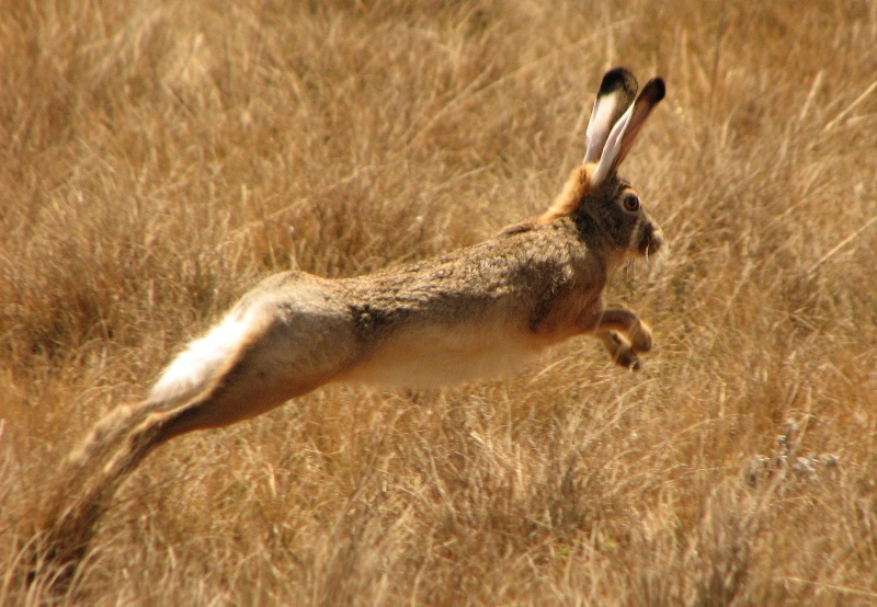 Abyssinian Hare