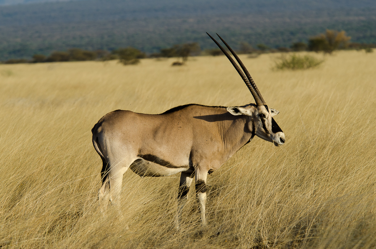 Oryx, Awash National Park