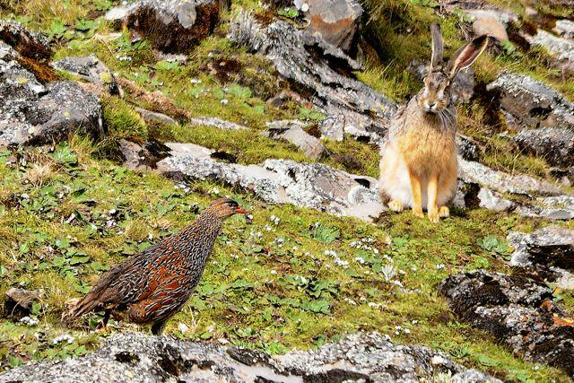 Borena-Sayint National Park Starks Hare