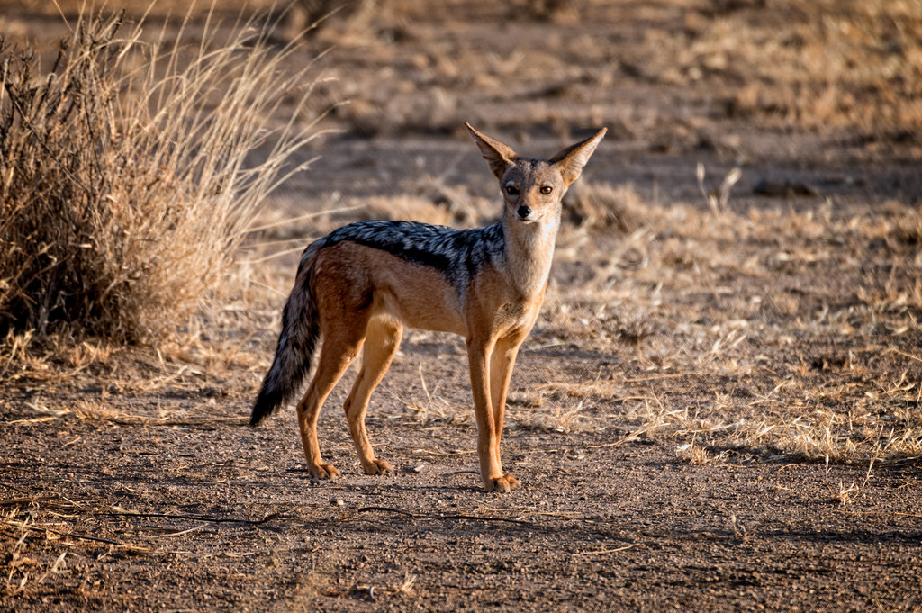 Kafta-Sheraro National Park Black-backed Jackal