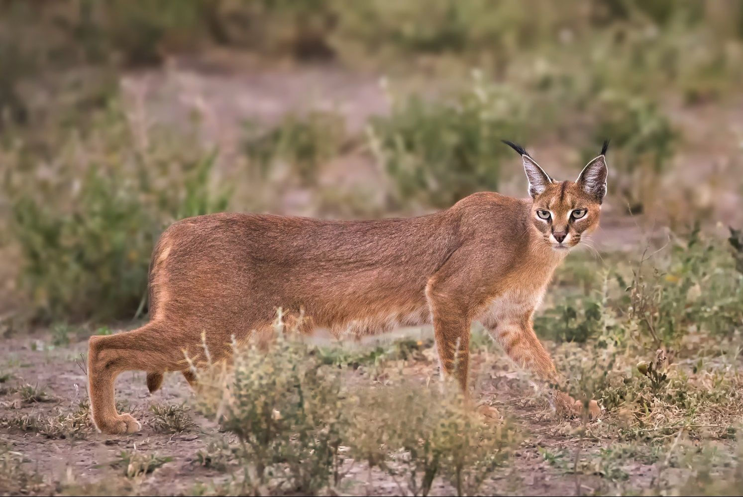 Kafta-Sheraro National Park Caracal