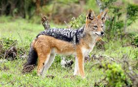 Doti Wolel Black Backed Jackal