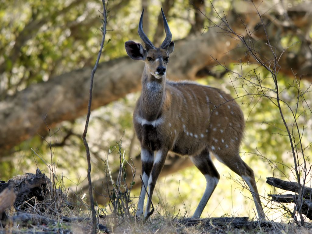 Doti Wolel Common Bushbuck