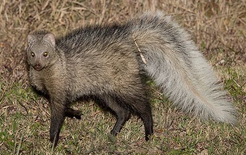 Doti Wolel White Tailed Mongoose