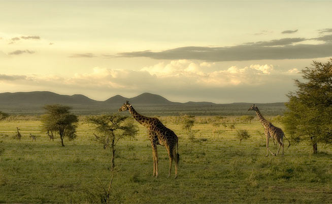 Front-page-giraffes