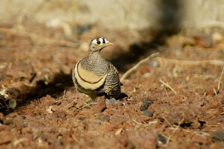 Lichenstein's Sandgrouse