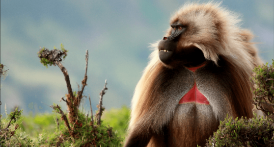 Borena-Sayint National Park Baboon