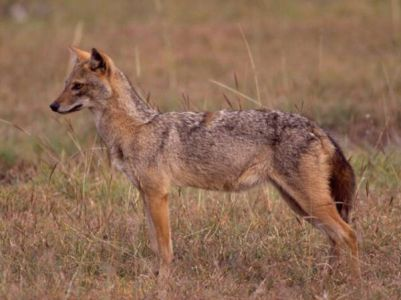 Kafta-Sheraro National Park Common Jackal