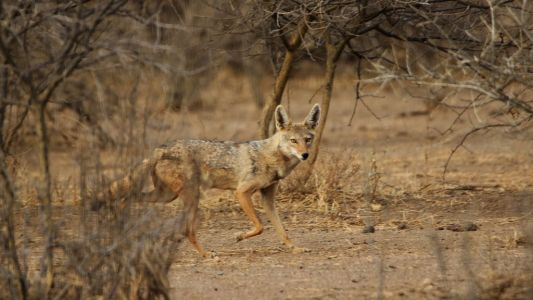 Doti Wolel Black Backed Jackal 2