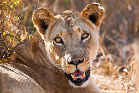Swaziland-hlane-royal-national-park-lion