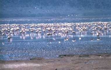 1200px-Lake_Nakuru_flamingos