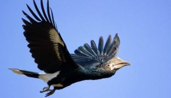 Silvery-cheeked-Hornbill-Picture-credit-Trevor-Jenner-360x180