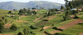 Rice-fields-in-Kisoro-District-Uganda